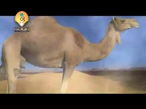 (Zakat) Zakat on Camel, Cow, Sheep & Goat